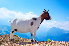Small goat Stock Image