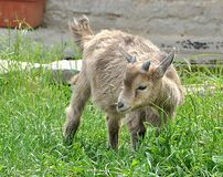 Small goat Stock Images