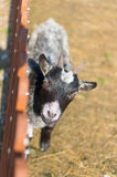 Small goat Stock Photography