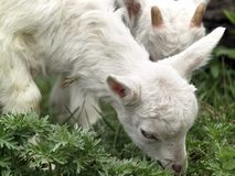 Small goat cubs eating grass Royalty Free Stock Images