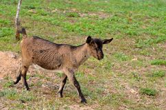 Little goat. A small goat eating grass on the edge of the lake. It was taken in Songshan Lake in Dongguan Stock Photo