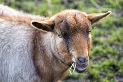 Small goat grazing Royalty Free Stock Images
