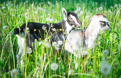 Small goat grazing Royalty Free Stock Photography