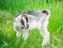 Small goat grazing Stock Image