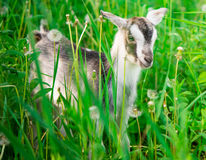 Small goat grazing Stock Photography