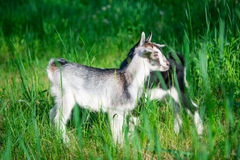 Small goat grazing Royalty Free Stock Image