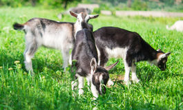 Small goat grazing Stock Photos