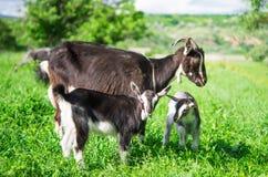 Small goat grazing Stock Photo
