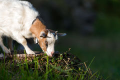 Small goat grazing Royalty Free Stock Photos