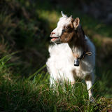 Small goat grazing Stock Images