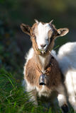 Small goat grazing Royalty Free Stock Photo