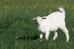 Small goat on green meadow Royalty Free Stock Image
