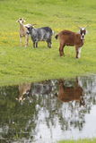 Small Goat Herd Royalty Free Stock Images
