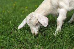 Small goat kid grazing on green meadow, detail of head. Small goat kid grazing on green meadow, detail of head stock photography