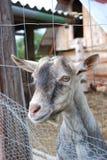 Small goat. Royalty Free Stock Photos