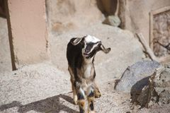 Little goat with its mouth open royalty free stock image