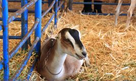 Small goat in a pen lying down Royalty Free Stock Photo