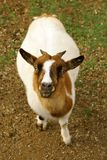 Small goat portrait. View from above on small white and brown goat Royalty Free Stock Photos