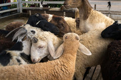 Small goat stable. Small group of goats playing with each other in the stable Royalty Free Stock Image