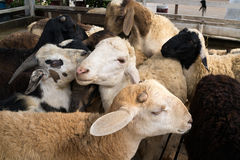Small goat stable. Small group of goats playing with each other in the stable Royalty Free Stock Photos