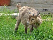 Small goat Royalty Free Stock Photos