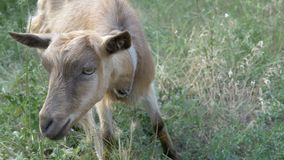 A small goat in the village. Small goat in the village stock video footage
