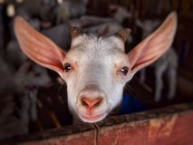 Goat with curiously stared. Small goat was curious staring while being photographed Royalty Free Stock Images