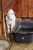Small goat in zoo. In Europe Stock Images