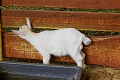Small goat in zoo. In Europe Royalty Free Stock Photo