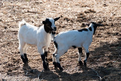 Small goats Royalty Free Stock Images