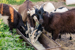 Small goats drinking milk. From a trough Royalty Free Stock Photo