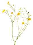 Small gold buttercup blooms on long stems Royalty Free Stock Photos