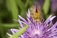 Small, gold, skipper butterfly on a lavender bergamot flower. Small, gold, skipper butterfly with long proboscis taking nectar on a bergamot flower, Monarda royalty free stock photos