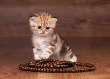 Small goldem british kitten on table with beads Royalty Free Stock Photo