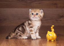 Small golden british kitten Royalty Free Stock Photography