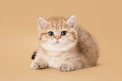 Small golden british kitten Stock Photos