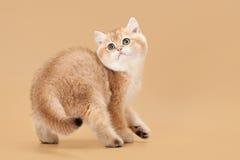 Small golden british kitten Stock Photo