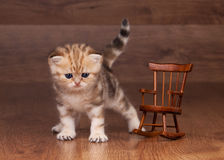 Small golden british kitten with armchair Stock Photo