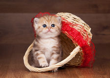 Small golden british kitten in bask Stock Photo