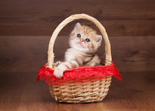 Small golden british kitten in basket Stock Images