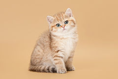 Small golden british kitten on light brown Stock Photos