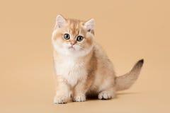 Small golden british kitten on light brown Stock Photos