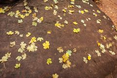 Small golden fall leaves scattered on a dark brown rock. royalty free stock image