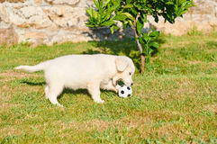 Small golden retriever playing with a ball Stock Photography