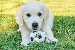 Small golden retriever playing with a ball Stock Photos