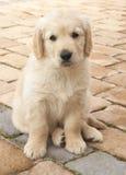 Small Golden Retriever Puppy Stock Photo
