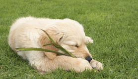 Small golden retriever puppy Stock Photos