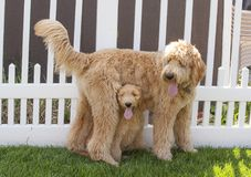Small Goldendoodle Puppy Sitting Underneath Standing Larger Gold. A small Goldendoodle Puppy Woody sits upright underneath a standing larger Goldendoodle Puppy royalty free stock photo