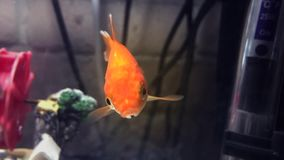 Small goldfish in a tank. Shot of Small goldfish in a tank stock footage