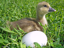 The small goose with egg on a green grass Stock Photos